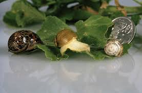 green snail declared pest agriculture and food