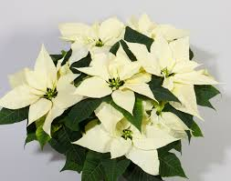 white poinsettia selecta one assortment poinsettia competence in white