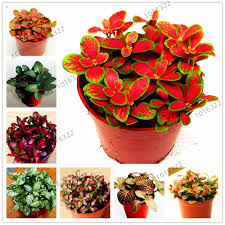 potted flowers 100pcs bag fittonia verschaffeltii seeds easy planting balcony