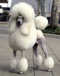 different styles of hair cuts for poodles standard poodle haircuts styles gallery haircuts for men and women