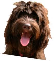 australian shepherd puppies for sale 34655 tampa bay australian labradoodles