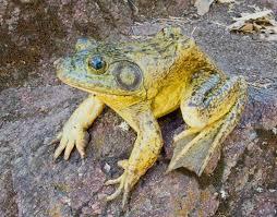 american bullfrog tucson herpetological society