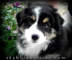 australian shepherd upstate ny sky blue aussies aussie puppies for sale