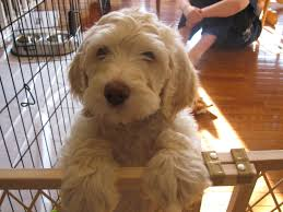 australian shepherd labradoodle labradoodle puppies for sale labradoodle breeder bad companys