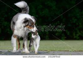australian shepherd with cats cats and dogs stock images royalty free images u0026 vectors
