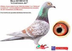 cuisine des pigeons voyageurs baby homing pigeons racing pigeons and bird