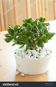 houseplant crassula ovata jade plant money stock photo 661756318