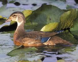 wood duck audubon field guide
