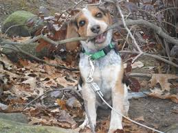 bluetick coonhound treeing danielle says