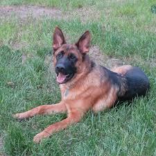 belgian sheepdog for adoption alpha k 9 obedience animal behaviorist and dog trainer denver colorado