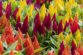 celosia flower attract visitors with celosia flowers and their many uses