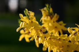 prayer of confession and thanksgiving a thanksgiving prayer for spring forsythia root