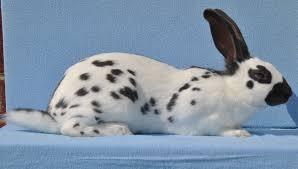 welcome national english rabbit club
