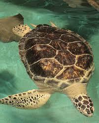 national aquarium green sea turtle