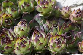 Succulent Rock Garden by Free Images Structure Flower Petal Produce Botany Flora