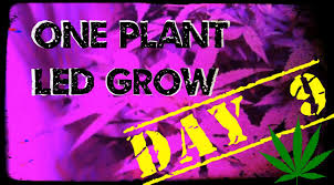 best light to grow pot day 9 one marijuana plant led grow using the best led lights for