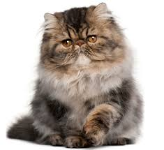 the persian cat cat breeds encyclopedia
