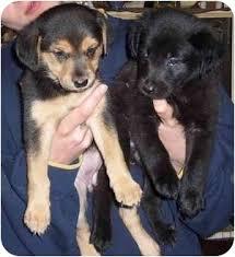 belgian sheepdog golden retriever mix golden retriever german shepherd mix black laura williams