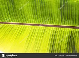 texture abstract background of back light fresh green banana tree