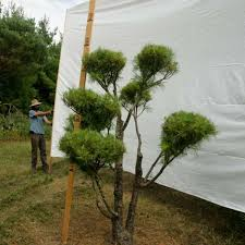 Real Topiary Trees For Sale - pom pom live topiary trees real pine topiaries 3 to 8 feet tall