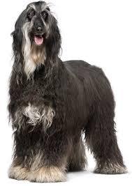 afghan hound lifespan afghan hounds advice you can trust