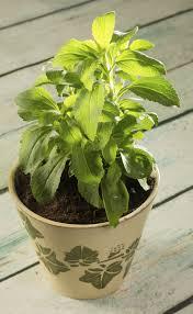 stevia winter plant care u2013 tips on overwintering stevia plants