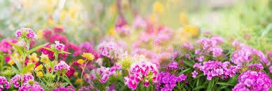 Summer Gardening - dianthus flowers on blurred summer garden or park background