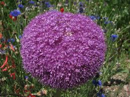 allium u0027lucy ball u0027 purple flower gigantic and beautiful
