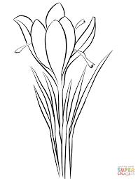 saffron crocus crocus sativus coloring page free printable