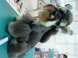 schnauzer hair styles miniature schnauzer horse cut wond3rful animal