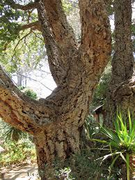 native plants san diego cork harvest demonstration at san diego botanic garden may 7