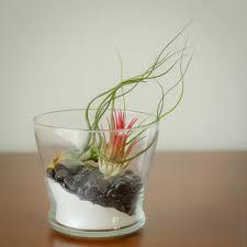 yin yang air plant terrarium kit air plant worlds