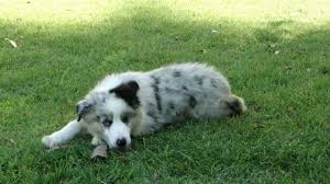 3 4 australian shepherd 1 4 blue heeler australian shepherd puppy to dog youtube