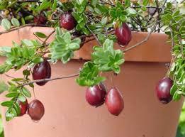 mirtillo in vaso come coltivare il cranberry in vaso o in giardino inorto guida