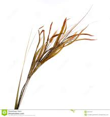 dried ornamental grass clump isolated on white stock image image