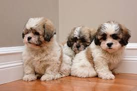 shichons haircut shichon puppies and dogs for sale