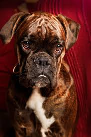 boxer dog upset stomach 309 best images about fur babies that are too cute on pinterest