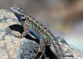 Backyard Reptiles How Can You Tell Male Vs Female Lizards Bay Nature