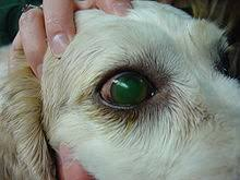 Blind Dog Eye Discharge Question And Answer Eye Problems