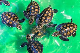 imagenes tortugas verdes tortugas verdes del bebé imagen de archivo imagen de tortuga 53602069