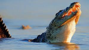 man eating crocodiles captured in florida earth earthsky