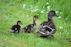 ducklings and ducks free stock photo public domain pictures