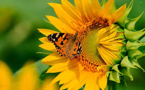 butterfly on the sunflower wallpaper wallpapers 54277