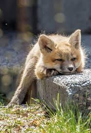 best 25 baby foxes ideas on pinterest cute fox foxes and baby