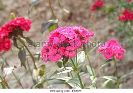 Sweet William Flowers Red Pink Sweet Williams Flowers Stock Photos U0026 Red Pink Sweet