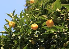information on growing calamondin trees calamondin growing tips
