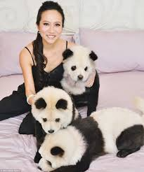 A Kitchen In Black And White Panda S House by Owner Of Dyed U0027panda Dogs U0027 Hits Back At Critics Saying She Is