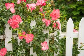 gardening picture rose gardening tips selecting and growing roses