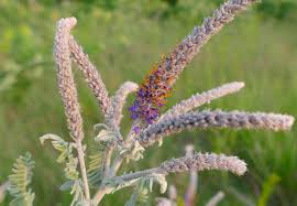 native wisconsin plants native butterfly and pollinator plant list prairie haven