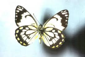 caper white butterfly australian museum